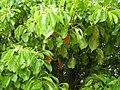 Starr-060429-8045-Cinnamomum camphora-leaves-Auwahi-Maui (24235650193).jpg