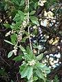 Starr-070727-7616-Conocarpus erectus-leaves and fruit-Ala Moana Beach Park-Oahu (24796689521).jpg