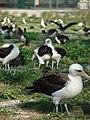Starr-080531-4718-Verbesina encelioides-habit with Laysan albatross-Parade field Sand Island-Midway Atoll (24283745093).jpg
