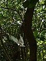 Starr-080608-7642-Terminalia catappa-habit with white terns-West Beach Sand Island-Midway Atoll (24798799532).jpg