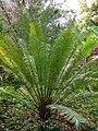 Starr-080716-9531-Cycas circinalis-habit-Enchanting Gardens of Kula-Maui (24557019179).jpg