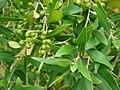 Starr-090421-6208-Olea europaea subsp cuspidata-fruit and leaves-Pukalani-Maui (24321707574).jpg