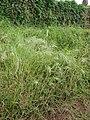 Starr-090426-6365-Bromus diandrus-seeding habit-Lower Kula Rd Kula-Maui (24859309541).jpg