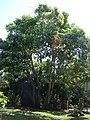 Starr-090429-6471-Aleurites moluccana-habit-Spreckelsville-Maui (24322204334).jpg