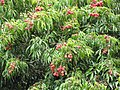 Starr-090617-0939-Litchi chinensis-fruit and leaves-Haiku-Maui (41310440932).jpg