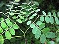 Starr-090623-1478-Adenanthera pavonina-seedling-Nahiku-Maui (24940328886).jpg