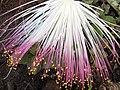 Starr-090813-4180-Barringtonia asiatica-flowers-Kamalii Park Kahului-Maui (24854063212).jpg