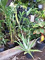 Starr-110215-1020-Aloe vera-flowering habit-KiHana Nursery Kihei-Maui (24779607610).jpg