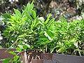 Starr-110307-1953-Wisteria floribunda-habit-Kula Botanical Garden-Maui (24959162042).jpg