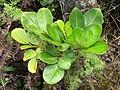 Starr-110722-7659-Polyscias oahuensis-leaves-Waihee Ridge Trai-Maui (24733781699).jpg