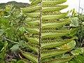 Starr-110924-9374-Nephrolepis exaltata-sori-Makamakaole-Maui (24483855664).jpg