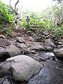 Starr-120229-2828-Musa x paradisiaca-Iholena with Kim and Jeremy-Waikapu Valley-Maui (24840519260).jpg