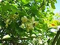 Starr-120312-9184-Citrus maxima-flowers with honey bee-Enchanting Floral Gardens of Kula-Maui (24842193660).jpg