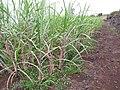 Starr-120620-7463-Cenchrus purpureus-green bana grass habit-Kula Agriculture Station-Maui (24850064080).jpg