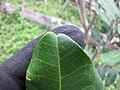 Starr-130319-3142-Cupaniopsis anacardioides-leaves cordate tips-Kilauea Pt NWR-Kauai (24581911113).jpg