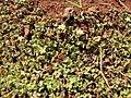 Starr-130320-3383-Oxalis corniculata-flowering habit-Nihoku Mokolea Pt Kilauea Pt NWR-Kauai (25090843162).jpg