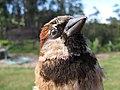 Starr-130601-4560-Acacia mearnsii-habitat with House Sparrow in hand-Hawea Pl Olinda-Maui (24580574724).jpg