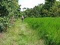Starr-140909-4907-Hibiscus tiliaceus-habit with Forest-Wailua-Maui (25152902441).jpg