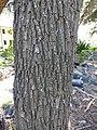 Starr-150325-0467-Sesbania grandiflora-trunk-Residences Sand Island-Midway Atoll (24635148444).jpg