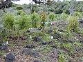 Starr 020622-0025 Xylosma hawaiiense.jpg