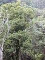 Starr 030405-0124 Pleomele auwahiensis.jpg