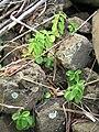 Starr 050914-4439 Peperomia blanda.jpg