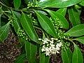 Starr 060329-6821 Psydrax odorata.jpg