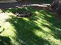 Starr 070118-3482 Cyperus gracilis.jpg