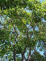 Starr 070302-5002 Aleurites moluccana.jpg