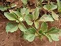 Starr 070404-6641 Acanthospermum australe.jpg