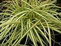 Starr 080117-1763 Carex hachijoensis.jpg