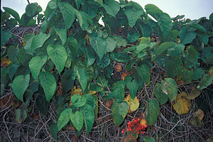 Starr 980602-4336 Passiflora ligularis.jpg