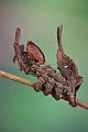 Stauropus fagi - Buchenspinner.jpg