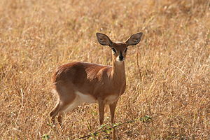 Steenbok - Image: Steenbok female