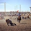 Steer wrestling at the Calgary Stampede (35110418933).jpg