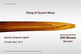 Vespula vulgaris - Image: Sting of Queen Wasp
