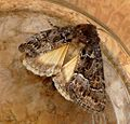 Straw underwing - Flickr - gailhampshire.jpg
