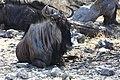 Streifengnu im Etosha Nationalpark.jpg
