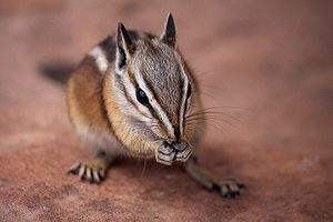 English: Chipmunk, probably Tamias umbrinus (U...