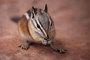 English: Chipmunk, probably Tamias umbrinus (U...