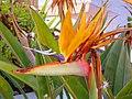 Strelitzia reginae Flor 2013-5-01 TorreLaMata.jpg