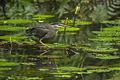 Striated Heron - Ankasa - Ghana 14 S4E2188 (15578207123).jpg