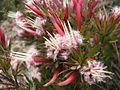 Styphelia adscendens pink.jpg