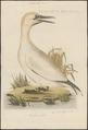 Sula bassana - 1770-1829 - Print - Iconographia Zoologica - Special Collections University of Amsterdam - UBA01 IZ18000041.tif