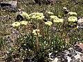 Sulphur-flower buckwheat (14421013380).jpg