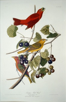 Summer Tanager in Birds of America