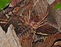 Sun Spider (Solifugae) (13761311864).jpg