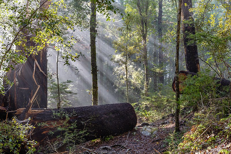 Sunlight streaming through fog in the New Zealand forest