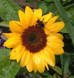 Sunflower3a.JPG