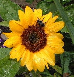 Sunflower3a